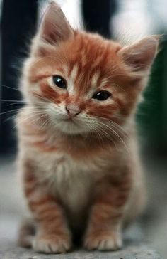 ginger kitten