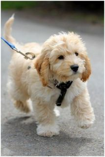 cockapoo puppy